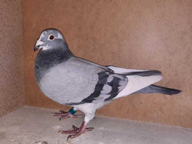 Sprzedam kilka gołębi z rozpłodu