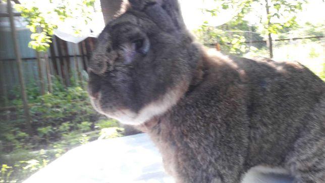 Кролики породы ризен(немецкий великан)