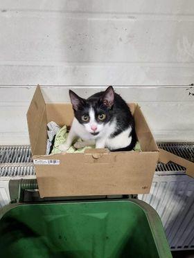 Znaleziono czarno-białego kotka/kotkę