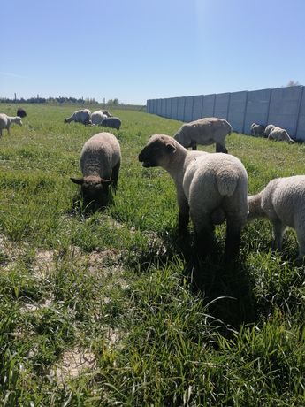 Owieczki jagnięta baranki