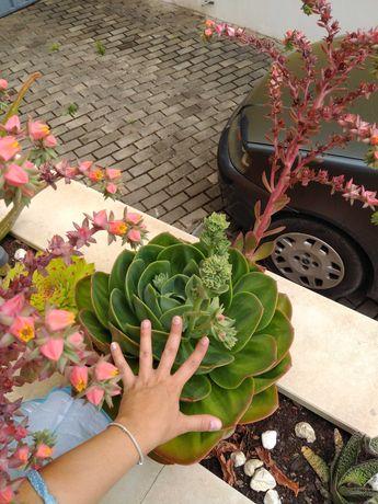 Suculentas echeveria Mandala varios tamanhos