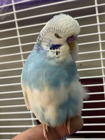 Попугай выставочный волнистый мальчик ручной