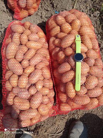 Домашня картопля (обміняю на зерно)
