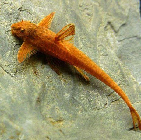 "ZBROJNIK Rineloricaria sp. forma ""red"" Loricaria ""red"""
