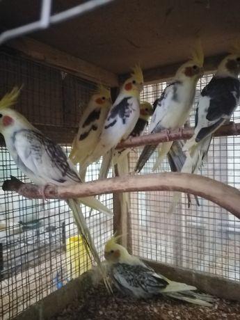 Папуги корелли