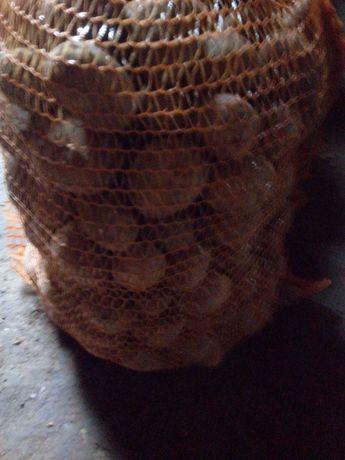 ziemniak odmiany tajfun 3-5