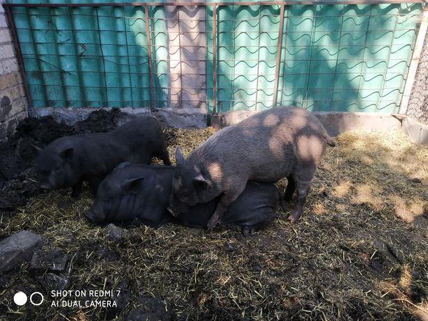 Случка вьетнамских свинок