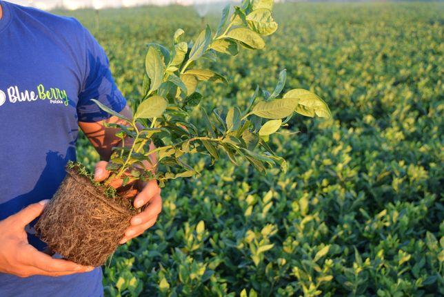 Borówka Amerykańska sadzonki 3 letnie z certyfikatem ( CAC )