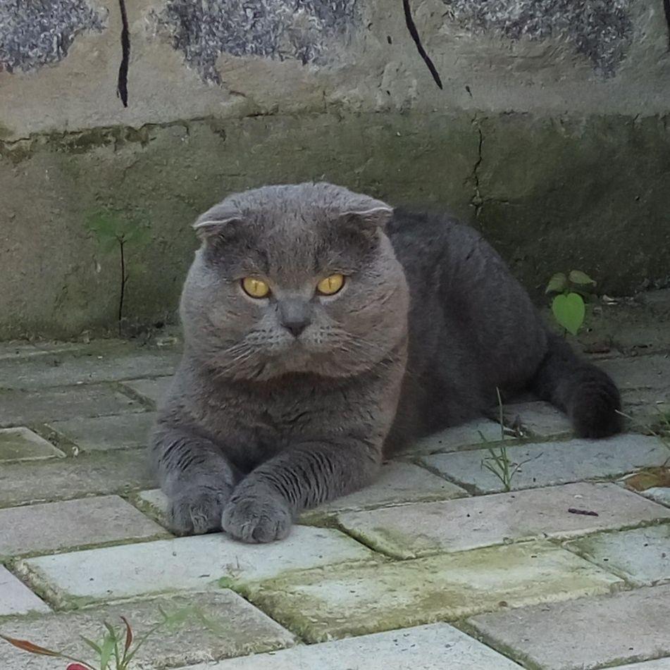 Шотландский вислоухий кот, вязка