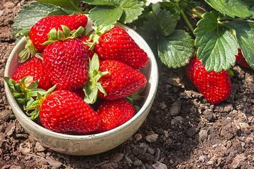 Sadzonki truskawek Pyszne owoce Duze