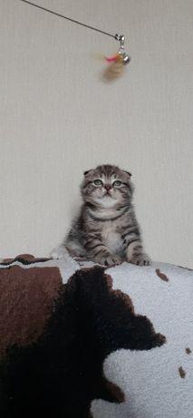 Вислоухие и прямоухие мраморные котята, Киев