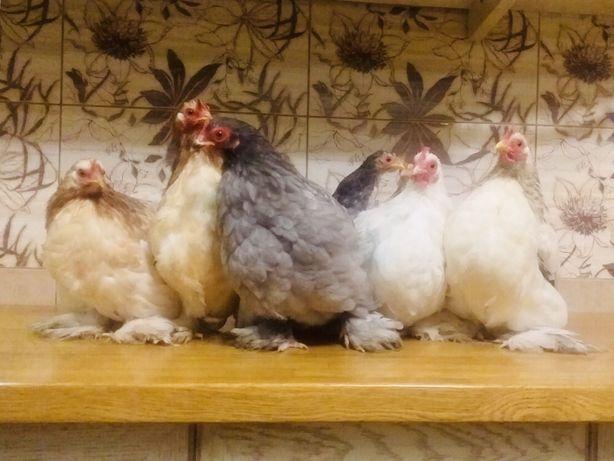 Куры породы «Кохинхин карликовый», яйца