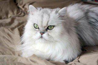 Приглашаем на вязку к котику перс Шиншилла
