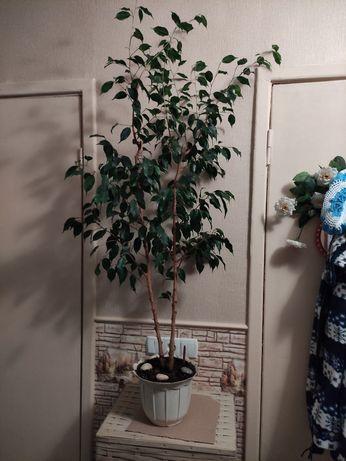 Фикус Бенджамина. Даниэль. Комнатные растения. Цветы.