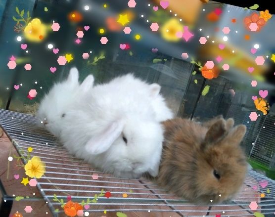 Веслоухий кролик декоративный