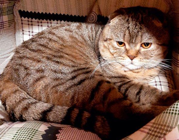 Потерялся вислоухий кот