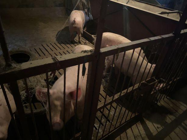 Свині м'ясної породи