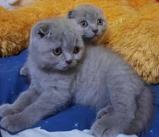 Шотландские плюшевые котята скоттиш фолд