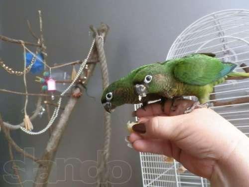 Пиррура буроухий попугай - ручные птенцы выкормыши