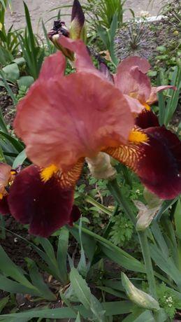 Цветы Ирисы -Петушки,