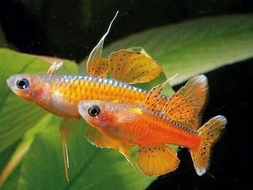 Pseudomugil paskai, XL krajowy red neon W-wa dużo innych gatunków