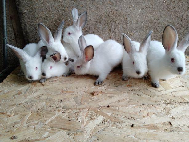 Кролики кроленята породи Каліфорнія