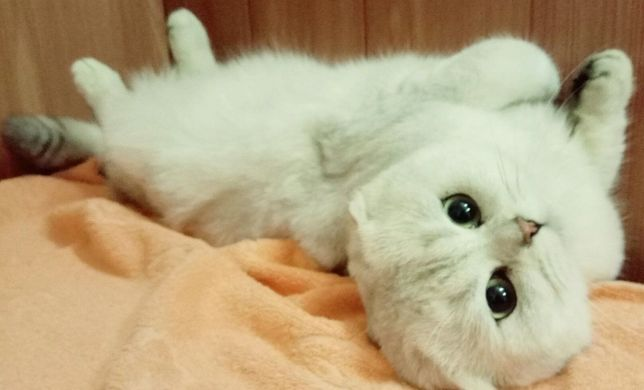 Вислоухий кот. Вязка