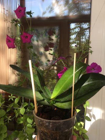 Орхиде фаленопсис