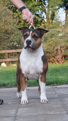 Amstaff/ZKWP/FCI/American Staffordshire Terrier