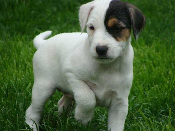 Parson Russell Terrier - piesek ZKwP [FCI]