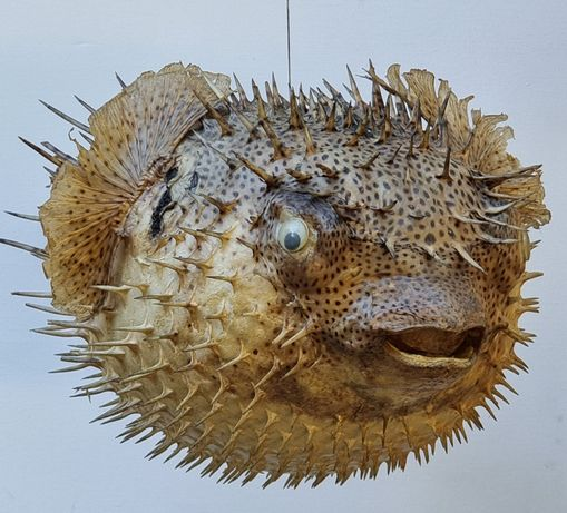 Peixe Balão / Decoração