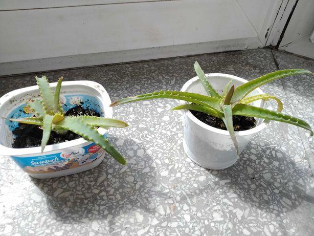 Aloes ostatnie dwie sztuki!