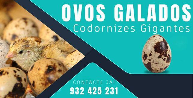 Ovos selecionados para incubação (galados) de codorniz gigante