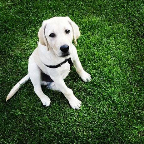Sprzedam psa - Labrador z RODOWODEM
