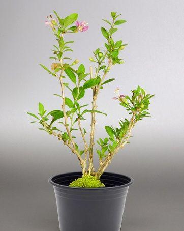Planta fruto de goji