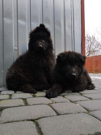 Czarny Owczarek Niemiecki Długowłosy- szczeniaki