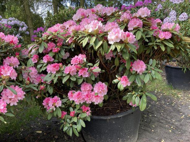 Rododendron Różowy wysoki na 1,60 metra