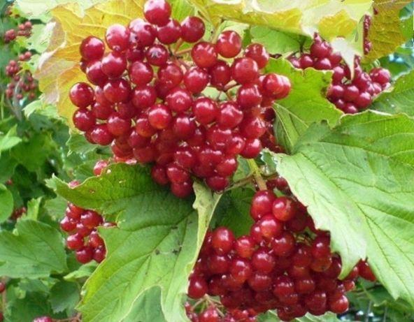 Продам саженцы и ягоды калины садовой