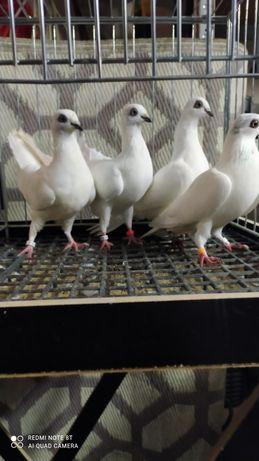 Budapeszty, gołębie ozdobne