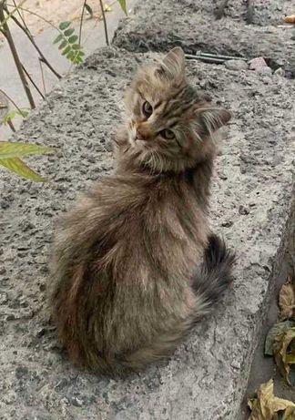 котенок 3 месяца сибирячок