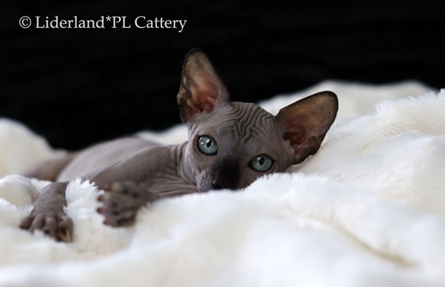 Cudowna kotka o wspaniałym charakterze•FPL