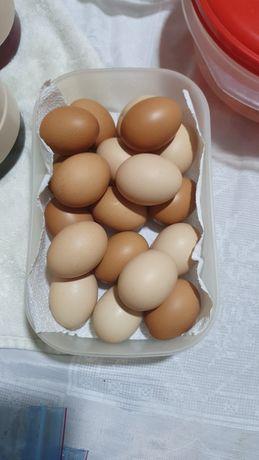 ovos caseiros de pitas poedeitas