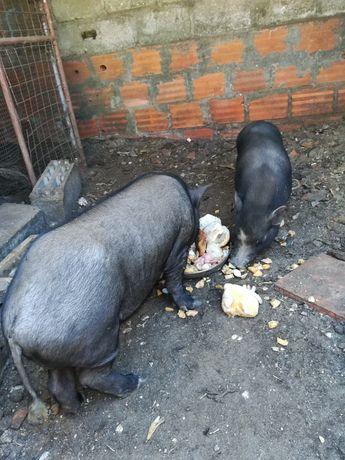 Casal de porcos..