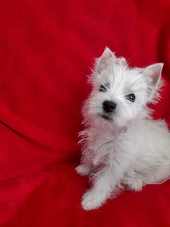 Sprzedam West Highland White Terrier z rodowodem po Championach.