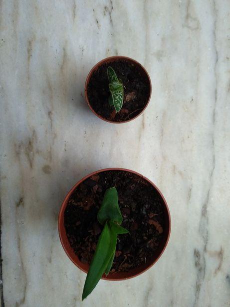 Aloe speciosa e Aloe variegata