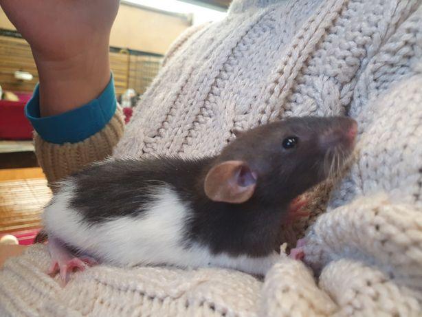Szczurki Dumbo młode samiczki 5 tygodni