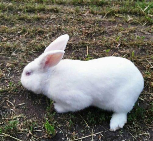 Кролики  бройлеры Термонская  белая .