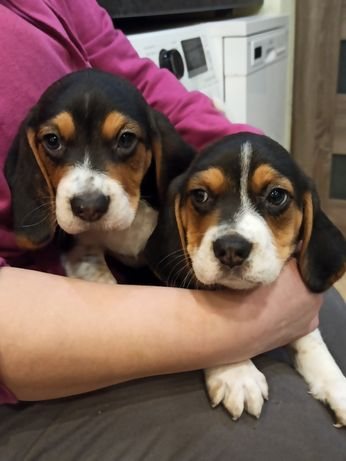 Beagle Sprzedam szczeniaki 4 miesiace