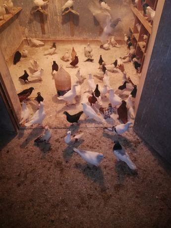 Sprzedam 200szt gołębi białych