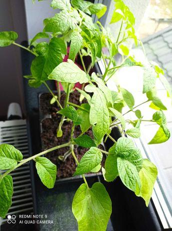 Sadzonki pomidora malinowego bio